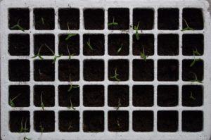 Germination de graines de tomates dans un kit de germination en intérieur