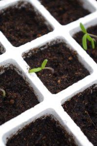 Germination d'une graine dans un godet de kit de germination