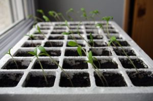 Germination - croissance penchée pour ces graines qui cherchent de la lumière