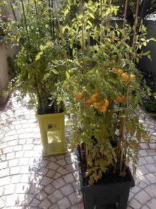 Plans de tomates dans une serre sur pieds